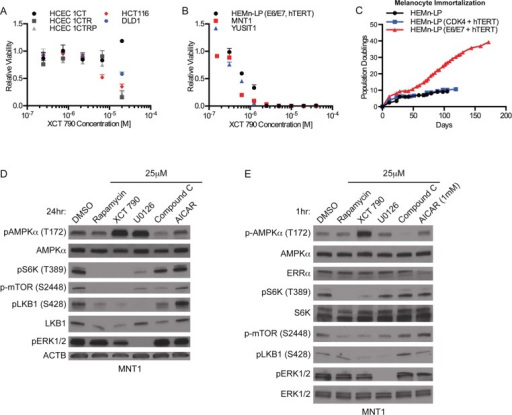 Selective viability andsignaling perturbations by XCT 790. (A)Normalized cell viability of immortalized human colonic epithelialcells and colon cancer cell lines or (B) immortalized human melanocytesand melanoma cell lines 72 h after exposure to XCT 790 at the indicateddoses. Bars indicate means ± the standard deviation (N = 3). (C) Doubling of the populations of HEMn-LP, HEMn-LP(CDK4/hTERT), and HEMn-LP (E6/E7/hTERT) cells for the indicated times.(D and E) Whole cell lysates of MNT1 cells, exposed to XCT 790 for24 (D) or 1 h (E), were assessed for the accumulation of indicatedphosphorylated proteins.