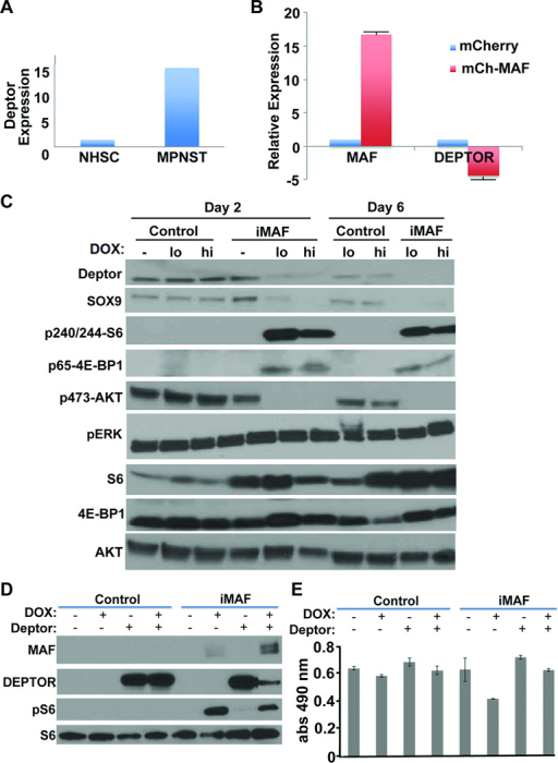 Inducing MAF expression modulates DEPTOR(A) Relative expression of DEPTOR from gene expression array analysis comparing MPNST and NHSC. (B) RT-PCR analysis of DEPTOR expression in S462-TY cells after overexpression of MAF. (C) Western blot analysis (reprobes of blots from 5F) of pLVX empty vector (control) or iMAF transduced S462-TY cells comparing uninduced, low (0.2 ug/ml) and high (hi; 2 ug/ml) doxycycline induced cells for 2 or 6 days. Downstream of MAF expression, phosphorylation of the mTOR substrates S6 and 4EBP1 are elevated while P-AKT is reduced. (D) Western blot analysis of S462-TY cells showing induction of MAF with and without DEPTOR overexpression. Overexpression of MAF attenuated DEPTOR levels and DEPTOR reduced pS6. (E) MTS assay showing that the decreased cell numbers caused by MAF are rescued by co-expression of DEPTOR.