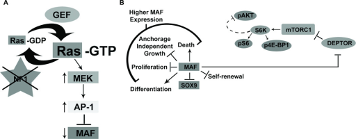 NF1 mediated control of Ras-MAPK signaling: cross-talk with mTOR signaling through DEPTOR(A) In the absence of NF1, MAF expression is suppressed through a RAS/MAPK/AP-1 pathway. The transient effects of high MAF re-expression include an increase in cell death and decreases in SOX9, proliferation, and anchorage independent growth. (B) MAF also regulates DEPTOR, which negatively regulates TORC1 activity. TORC1 activity can be read-out by the activity of its substrates, such as the phosphorylation of S6 by S6K. In turn, S6K activity causes negative feedback resulting in the decreased phosphorylation of AKT. Our studies suggest that sustained lower levels of MAF expression in vivo increase TORC1 activity and enhance tumor growth. This enhanced TORC1 signaling renders tumors vulnerable to TORC1 inhibition with RAD001.