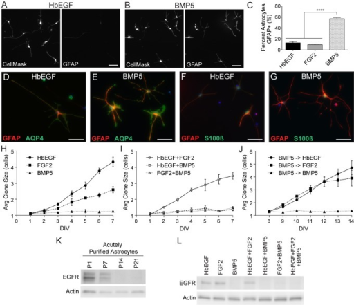 BMP signaling modulates astrocyte maturation invitro.A–C. Purified astrocytes were cultured for 3DIV in HbEGF (A), BMP5 (B), or FGF2 and GFAP expression examined by immunostaining. CellMask HCS staining was used to visualize all astrocytes. Images show individual channels from the same field. Scale bars are 100 µm. The percentage of astrocytes expressing GFAP at 3DIV was quantified using ImageJ (C). D–G. Purified astrocytes were cultured for 3DIV in HbEGF or BMP5 and the expression of AQP4 and S100ß examined by immunostaining. All cultures were also stained with GFAP. Scale bars are 50 µm. H–J. The proliferative capabilities of purified astrocytes in HbEGF, BMP5 and FGF2 were quantified invitro over 7 days using clonal analysis. Average clone size was calculated for both individual growth factors (H) and combinations of factors (I). Clonal analysis was also performed on astrocytes pre-treated with BMP5 for 7DIV to examine reversibility (J). K–L. Western blots for EGFR. Protein samples collected from acutely purified astrocytes at different postnatal time points confirm strong developmental downregulation of astrocyte EGFR (K). EGFR is also strongly downregulated in astrocytes cultured with BMP5 for 6DIV, even in the presence of other growth factors (L). Actin bands confirm equal protein loading. N ≥3 for each condition. Significance determined using one-way ANOVA with Tukey correction. Error bars represent SEM.