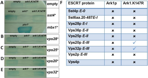 Physical interactions between ESCRT proteins and Ark1p as revealed by two-hybrid analysis.(a–e) Budding yeast strains containing LEXA–galactosidase transcriptional readout were transformed with the yeast two-hybrid bait (LexA DNA binding domain) and prey (GAL4 transcription activation domain) constructs indicated. Ark1p was fused to LexA and ESCRT proteins from each class were fused to GAL4. Mbx1p, a known Plo1p interacting protein,28 was used a positive control for the assay. Transformed strains were grown for three days on selective medium with the X-gal overlay assay then performed. Experiments were performed three times with qualitatively similar results and illustrative examples of performed two-hybrid reactions are shown. (f) Summary of physical interactions between Ark1p and ESCRT proteins identified by yeast two-hybrid analysis. The table indicates the presence or absence of yeast showing a blue colour observed when each of the ESCRT proteins with various versions of Ark1p was assayed.