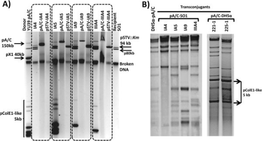 Examples of pA/C transconjugants recovered in SO1 pSTV::Km and DH5α. Panel A) shows the plasmid profiles of four different transconjugants in SO1 marked within dotted rectangles. The donor YU39 pA/C and the recipient SO1pSTV::Km strains are in the first and last lanes, respectively. Within each dotted rectangle, in the first lane are the SO1 transconjugants; in the second and third lanes the DH5α transformants for the pA/C and pSTV of each transconjugant are shown. Panel B) displays examples of PstI restriction profiles of pA/C transconjugants of SO1 and DH5α compared with wild-type YU39 pA/C (DH5α-pA/C).