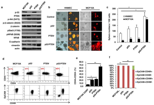 p53 and PTEN knockdown in mammary epithelial cells activates inflammatory Stat3/NF-κB pathway expanding stem cell population(a) Western blot analyses of MCF10A, p53 (p53−), PTEN (PTEN−) or combined p53 and PTEN knockdown cells (p53−PTEN−) show expressions of p53, PTEN and EMT markers, Vimentin, E-cadherin as well as the activations of Stat3/NF-κB and Akt/Wnt/b-catenin pathways. (b) Sphere forming assay in control HNMEC and MCF10A cells compared to p53−, PTEN− or p53−PTEN− cells; scale bar, 100μm. (c) Number of spheres formed per 10,000 cells plated. (d) Flow cytometry analysis of p53− and PTEN− cells with CD44/CD24 and EpCAM/CD49f markers. (e, f) Quantification of CD44+CD24− cells and EpCAM/CD49f subpopulations were analyzed by flow cytometry. Means ± SD (n=3),*p≤0.05, ** p≤0.005.