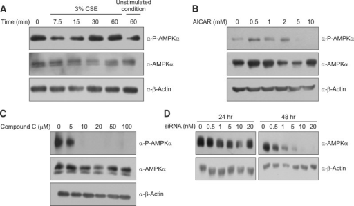 CSE activates AMPK in A549 cells. (A) Cells were incubated with medium alone or exposed to 3% CSE for the times indicated. (B) Cells were exposed to 0-10 mM AICAR (an AMPK activator) for 5 hours. (C) Cells were exposed to 0-100 µM Compound C (an AMPK inhibitor) for 5 hours. (D) Cells were transfected with various concentrations of AMPK siRNA for 48 hours. CSE: cigarette smoke extract; AMPK: AMP-activated protein kinase; AICAR: 5-aminoimidazole-4-carboxamide-1-β-4-ribofuranoside.