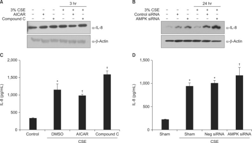 AMPK plays a vital role in the induction of IL-8 by CSE in A549 cells. (A, C) Cells were incubated with medium alone or exposed to 3% CSE for 3 hours after pretreatment with AICAR (1 mM) and Compound C (5 µM). (B, D) Cells were incubated with medium alone or exposed to 3% CSE for 24 hours after pretreatment with 10 nM AMPK siRNA or negative siRNA. Protein levels in cell lysates (A, B) were analyzed by Western blot, and protein levels in culture media (C, D) by enzyme-linked immunosorbent assay. The immunoblot results are representative of three independent experiments. AMPK: AMP-activated protein kinase; CSE: cigarette smoke extract; AICAR: 5-aminoimidazole-4-carboxamide-1-β-4-ribofuranoside; IL-8: interleukin 8; DMSO: dimethyl sulfoxide. Data in each group are means±SEM (n=3). *p<0.05, vs. medium only. †p<0.05 vs CSE without drug or siRNA treatment.
