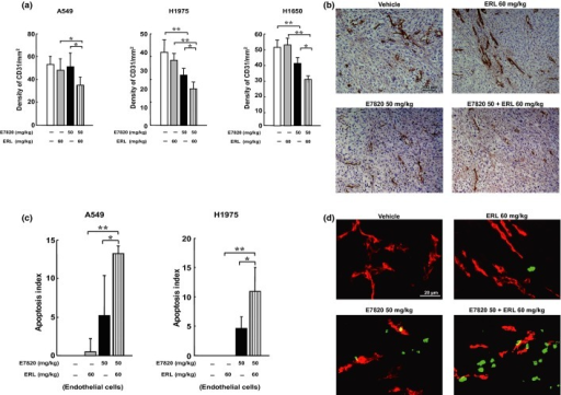 Combination treatment with E7820 and erlotinib (ERL) preferentially decreased microvessel density and enhanced apoptosis of tumor-associated endothelial cells in non-small-cell lung cancer xenograft models. Mice (n = 5, per group) were treated with vehicle, E7820 (50 mg/kg), and/or erlotinib (60 mg/kg) for 7 days. The tumors were resected and processed for immunohistochemical evaluation of CD31. (a) Columns indicate means of density of CD31-positive count. *P < 0.05 (b) Representative results are shown with CD31 staining in H1975. (c) Double immunofluorescence staining of CD31/TUNEL. Columns indicate means of apoptosis index in endothelial cells. *P < 0.05; **P < 0.01. (d) Representative results are shown with CD31/TUNEL staining in H1975. Endothelial cells (CD31+) stained with red fluorescence and apoptotic cells (TUNEL+) stained with green fluorescence. Colocalization of endothelial cells undergoing apoptosis yielded yellow fluorescence.