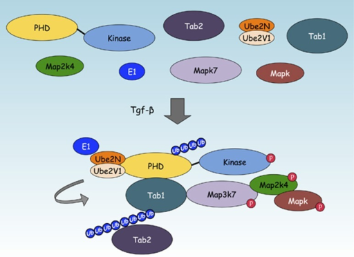 The Map3k1 PHD motif regulates Tabs in response to cytokine stimulation. Following Tgf-β treatment, the Map3k1 PHD motif binds and transfers Lys63-linked poly-Ub onto Tab1 to enhance Map3k7 activation. Tab2, although not a Map3k1 PHD motif substrate, can be recruited to the Map3k1:Map3k7 Ub signaling complex by the Ub binding ZnF motif of Tab2.