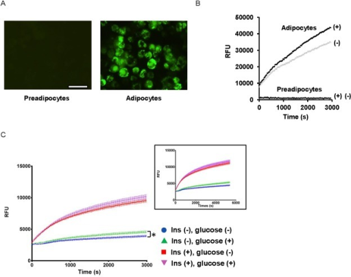 FFA uptake by differentiated adipocytes.(A) The uptake of BODIPY-C12 FA by preadipocytes and adipocytes were observed under a fluorescent microscope. Scale = 50 μm. (B) Time-dependent BODIPY-C12 FA uptake by adipocytes. Intracellular emission of BODIPY-C12 FA was monitored every 20 s up to 3,000 s in adipocytes and preadipocytes in the presence and absence of insulin (100 nM). Insulin-treated (+) and untreated (-). (C) The rate of FFA uptake was assessed with the adipocytes cultured in the presence and absence of 25 mM glucose. Blue circle (no insulin, no glucose), red square (with insulin, no glucose), green triangle (no insulin, with glucose), purple reverse triangle (with insulin, with glucose). Inset shows FFA uptake with an extended assay time. At 6,000 s, insulin-dependent FFA uptake shows the saturation of FFA uptake-dependent fluorescent signals. *P < 0.05.