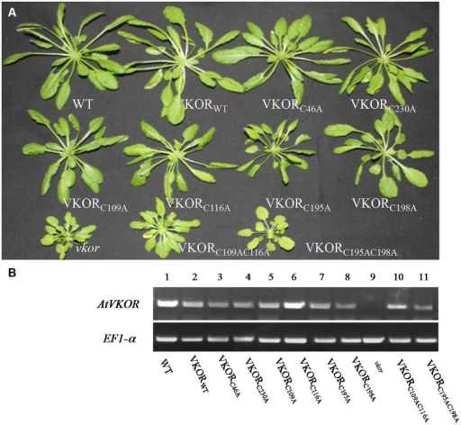 Characteristics of cysteine-mutant AtVKORs plants. (A) The phenotypes of cysteine-mutant AtVKORs plants; plants were grown on soil for 8 weeks under normal growth conditions. (B) Transcriptional level analysis of AtVKOR in plants of cysteine-mutant AtVKORs.