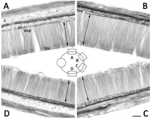 Cross-section at the equator of adult (ML 130 mm) T. pellucida retina showing no migrated ommin in any region and peripheral-central changes in photoreceptor thickness.Scale bar is 100μm. Arrows indicate length of outer photoreceptor segment. Abbreviations as in Figs 2 and 3.