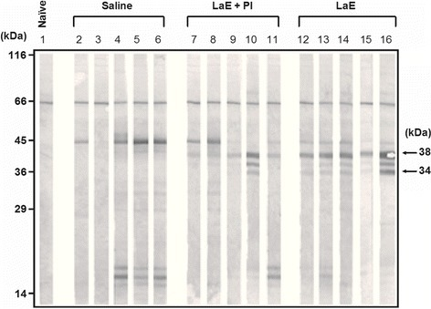 Reactivity against L. amazonensis antigens, as assessed by Western blot, of IgG2a antibodies in the sera of BALB/c mice that had been injected with L. amazonensis extract and infected with L. braziliensis. Sera were from blood samples collected five weeks after infection. The infected mice were treated with saline (Saline; lanes 2 to 6), L. amazonensis extract supplemented with protease inhibitor (LaE + PI, lanes 7 to 11) or unsupplemented L. amazonensis extract (LaE, lanes 12 to 16), as detailed in the Materials and Methods. The result obtained with the serum of a naïve mouse is shown in lane 1. The positions of molecular weight markers are shown on the left of the figure