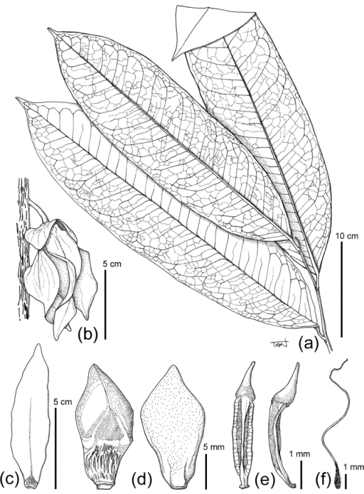 Line drawing of Goniothalamusflagellistylus sp. nov. (a) leafy twig, (b) flower on main trunk, (c) outer petal (adaxial), (d) inner petals (ad- and abaxial), (e) Stamens, (f) Carpel. Materials from Tagane et al. V1497.