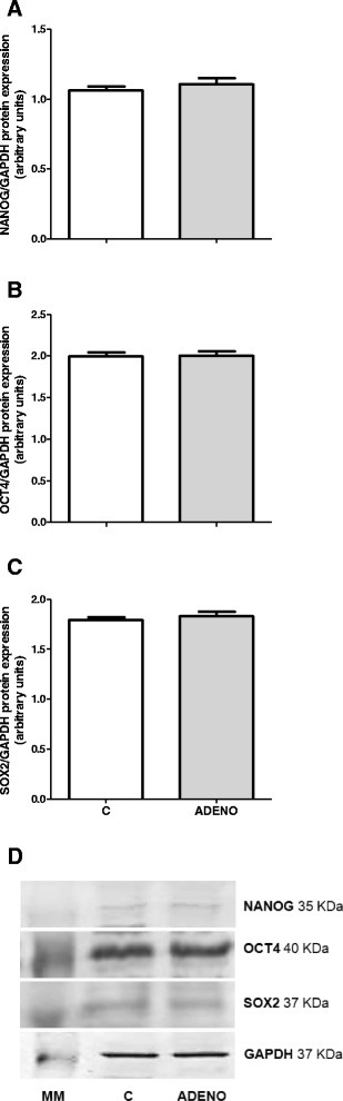 Protein expression of NANOG a, OCT4 b and SOX2 c in bovine uterine tissues obtained from control cows and from cows with adenomyosis. Data were normalized against glyceraldehyde-3-phosphate dehydrogenase (GAPDH). Bars represent the mean ± SEM. There were no statistical differences between uterine normal and adenomyotic tissues (P > 0.05), as determined by Student's t-test. Representative blots for NANOG, OCT4, SOX2 and GAPDH are shown below the graphs d. MM – molecular weight marker, C – tissues obtained from control cows, ADENO – tissues obtained from cows with adenomyosis