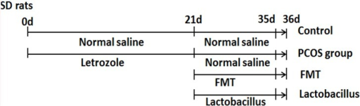 Time lines of the animal experiments.To establish the PCOS rat model, SD rats were treated with letrozole at a concentration of 1 mg/kg once daily for 21 days. After that, PCOS FMT group was treated with 2×109 fecal microbiota once daily, PCOS Lactobacillus transplantation group was treated with 2×109Lactobacillus once daily, PCOS group and control group were treated with normal saline for 14 days. On day 21, all rat fecal samples were collected. On day 36, all rat blood samples, ovarian tissue samples and fecal samples were collected.