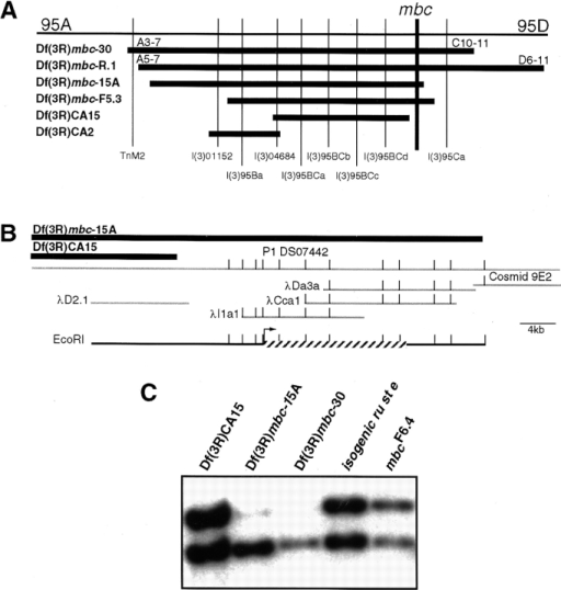 Genetic and molecular map of cytological region 95BC.  (A) Deficiencies are represented by horizontal bars and lethal  complementation groups by vertical lines. Groups l(3)95BCa-d  have not been oriented with respect to each other. (B) Molecular  map of the region between the distal breakpoints of Df(3R)CA15  and Df(3R)mbc-15A, indicating P1, cosmid, and bacteriophage  lambda clones (gray lines). EcoRI sites are indicated. The location of the mbc gene is indicated by a hatched bar, and the direction of transcription is marked by the arrow. (C) A Southern blot  of EcoRI/BamHI-digested DNA that was enriched for various  deficiency chromosomes, including isogenic ru st e and mbcF6.4 as  controls. The test probe is a 2.8-kb EcoRI fragment from P1  clone DS07442 (upper band) while the control probe is a fragment from MHC (lower band).