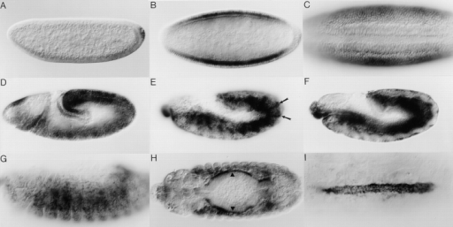 Spatial expression pattern of mbc mRNA in wild-type embryos. In all panels, anterior is to the left. In A, D, E, F, and G, dorsal  is at the top. (A) Lateral view, early stage 4, before cellularization. (B) Dorsal view, stage 5. (C) Ventral view, stage 6; the invaginating  ventral furrow is evident. (D) Lateral view, stage 9. (E) Lateral view of the ectoderm, late stage 12; arrows highlight ectodermal stripes.  (F) Lateral view focusing on the mesoderm and endoderm of the same embryo as in E. (G) Lateral view, stage 14; focusing on mesodermal cells. (H) Dorsal view, stage 14; arrowheads indicate the visceral musculature. (I) Dorsal view; stage 16; expression is evident in the  cardial and pericardial cells of the dorsal vessel.