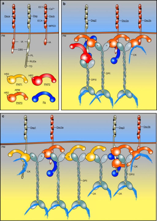 Desmosome model showing interactions between selected molecular components of simple and stratified epithelia (modified after Nollet et al., 2000). (a) Some representative desmosomal proteins are depicted. CBS, catenin-binding segment; CK, cytokeratin; EC, ectodomain module; IA, intracellular anchor domain; MPED, membrane-proximal extracellular domain; N, amino-terminal domain; PL, proline-rich linker; PM, plasma membrane; RUD, repeat unit domain; TD, terminal domain. In the present work, the combination (PL-RUDs-TD) was designated Dsg domain (Hatzfeld et al., 2000). (b) The localizations in simple epithelia of PKP1, PKP2, and PKP3 as compared with Pg are mainly based on observations made by others (Mertens et al., 1996; North et al., 1999; Schmidt et al., 1999). DP occurs as two splice variants, DPI and the shorter DPII that is expressed in epithelia, but not in heart (Kowalczyk et al., 1999b). The stoichiometry of the interactions between desmosomal plaque molecules is unclear. For the Pg–Dsg1 interaction, ratios >1:1 have been reported (Bannon et al., 2001). It is also unclear which and how many proteins can bind at the same time to a single PKP protein. Here, we have shown that at least the PKP3 head domain contains two DP interaction sites. (c) The location and multimolecular interactions of PKP1 in stratified epithelia are adapted from a model proposed by Kowalczyk et al. (1999a). According to immunoelectron localization studies, the carboxy-termini of DPI and DPII are localized at the same distance from the cell membrane that is not reflected here. In epidermis, PKP1, Dsc1, and Dsg1 are enriched in the superficial layers, whereas Dsg3, Dsc3, and PKP2 are concentrated in the basal layers. PKP3 is expressed throughout all living cell layers of the epidermis (Fig. 2).