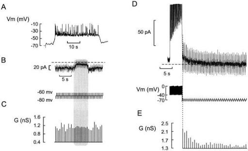 Cell coupling does not account for Kslow current. (A) Membrane potential recording from a β cell in an intact islet. (B) Voltage-clamp recording at a holding potential of −70 mV. Changes of the cell conductance (G) were determined from the current responses (top) elicited by application of ±10-mV voltage pulses (200-ms duration, 2 Hz frequency; bottom). (C) Cell conductance calculated from the ±10-mV voltage steps in B. Note that the cell conductance is stable and amounts to ≈1 nS. In B and C, the shaded area indicated the silent interval between two successive bursts. (D) Current responses (top) elicited by a train of depolarizations followed by a series of ±10-mV voltage pulses applied from a holding potential of −70 mV to monitor the cell conductance (bottom). (E) Cell conductance (G) calculated from the ±10-mV voltage pulses. Note that the conductance is greatest (2.1 nS) immediately after the train, but subsequently declines to the steady state value (1.3 nS). The same cell was used in A–E.