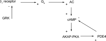 Schematic presentation of the feedback mechanism primarily responsible for the regulation of β2 adrenergic signaling in HEK-293 cells. Ligand binding to β2ARs leads to activation of adenylyl cyclase and cAMP production. cAMP activates PKA, which in turn phosphorylates and activates PDE4. GRK-mediated phosphorylation of the receptor, and subsequent arrestin binding, is also sufficient to trigger a decay in the near-membrane cAMP signal.