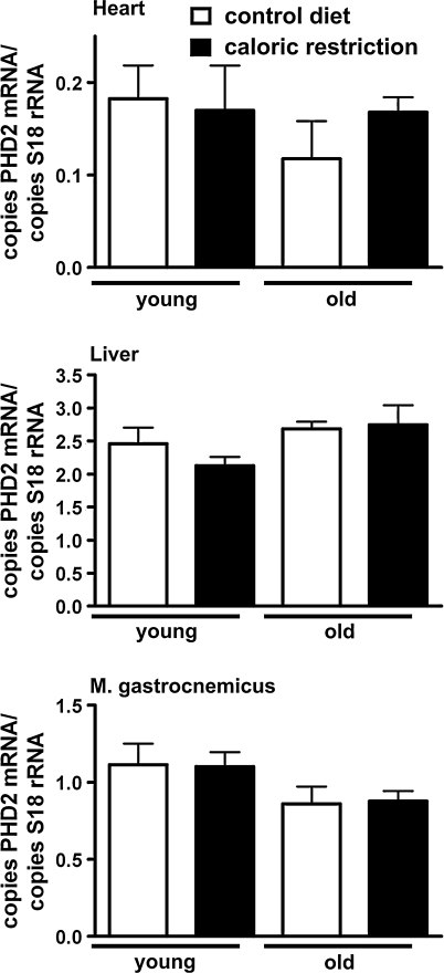Effect of age and caloric restriction on PHD2 mRNA expression. Tissue samples (heart, liver and skeletal muscle (M. gastrocnemicus)) were obtained from young (6 months old) and old (24 months old) rats with or without a 40% caloric restriction applied for 6 months. Subsequently, RNA was extracted and PHD2 mRNA quantitated by real time PCR