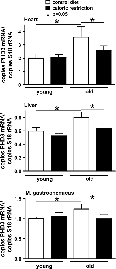 Effect of age and caloric restriction on PHD3 mRNA expression. Tissue samples (heart, liver and skeletal muscle (M. gastrocnemicus)) were obtained from young (6 months old) and old (24 months old) rats with or without a 40% caloric restriction applied for 6 months. Subsequently, RNA was extracted and PHD3 mRNA quantitated by real time PCR