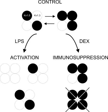 Diagram of major heterotetrameric structures in Raw macrophages upon immunomodulation. Raw cells express Kv1.3 and Kv1.5. Because MgTx abolished Kv currents, Kv1.5 does not form homomeric complexes. However, molecular, pharmacological, and biophysical data indicate that Raw cells express more Kv1.5 than Kv1.3. LPS-induced macrophages increased the number of Kv1.3 subunits at the complex. However, the immunosuppressant DEX decreases Kv1.3, which generates Kv1.5-predominant heteromeric channels. Different Kv1.3/Kv1.5 molecular ratios are responsible for the biophysical properties that lead to functional consequences during activation and immunosuppression. White circles, Kv1.3; black circles, Kv1.5.