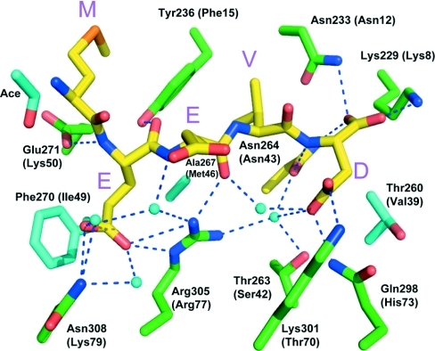 Pymol diagram showing the interaction of the MEEVD peptide with the TPR2a domain of HopResidues are labelled and those residues in brackets are the equivalent residues of Tah1. The single letter amino acid code is used for the MEEVD peptide sequence. Water molecules are shown as cyan coloured balls and polar interactions are shown as broken lines.