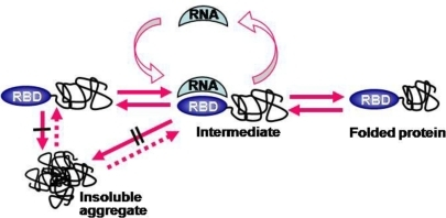 A model for RNA binding-mediated protein folding. Both the folded RNA-binding domain (RBD) at the N-terminal position and bound RNA prevent inter-molecular interactions among folding intermediates, leading to soluble expression and favoring kinetic network into productive folding. The number of black bars (/ and //) represents the extent of aggregation inhibition. (Reproduced from Reference [67]).