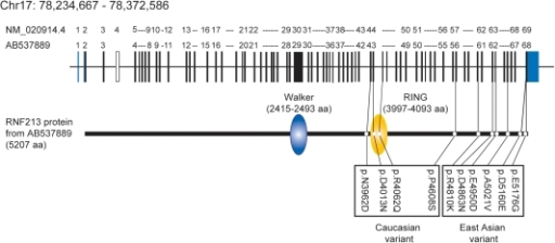 Genomic structure, domains of RNF213 and variants.Genomic structure was based on DDBJ/EMBL-Bank/GenBank accession number AB537889. Domain structure was obtained by GeneCards.