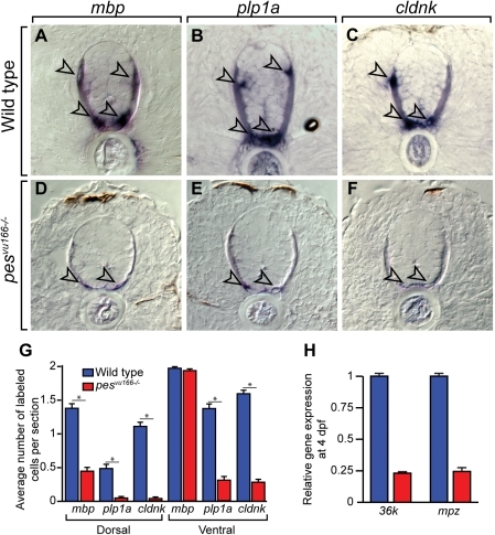Loss of pes function reduces oligodendrocyte gene expression.Transverse sections through spinal cords of 4 dpf wild-type (A–C) and pesvu166−/− (D–F) larvae processed for in situ RNA hybridization. Arrowheads indicate oligodendrocytes. Reaction products are greatly reduced in mutant relative to wild type. (G) Average number of labeled cells in the dorsal and ventral spinal cord. Ten sections from ten larvae of each genotype were counted. Asterisk (*) indicates p≪0.05 by Student's T-test. (H) Relative expression levels of the CNS myelin genes mpz and 36k measured by quantitative PCR.