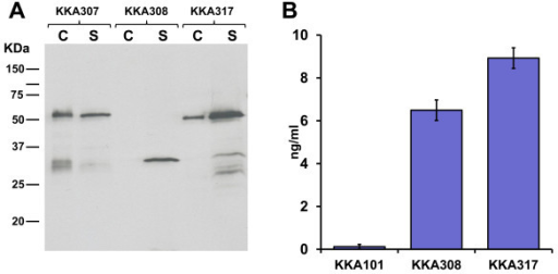 (A) Detection of the scFv expressed by recombinant L. paracasei by immunoblotting. Cell extract (c) of cell wall anchored strain (KKA307), secreted strain (KKA308) and attached strain (KKA317). Culture supernatant (s) from cell wall anchored strain (KKA307), secreted strain (KKA308) and attached strain (KKA317). The expected size of L. paracasei produced scFvs was 57.1, 29.2 and 42.2 KDa for the anchored, secreted and attached constructs respectively. (B) Binding and quantification of anti-PA scFv secreted into the growth media of the recombinant lactobacilli as measured by ELISA, with 1H scFv purified from E. coli as a reference (average of 4 experiments).