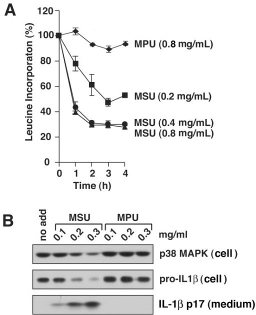 MSU crystals inhibit protein synthesis at concentrations that induce processing and release of IL-1ß.WT BMDM were primed with LPS for 4 h prior to exposure MSU or MPU at indicated concentrations. A) BMDM in triplicate wells were pulse-labeled in medium containing [3H]-leucine for 15 min prior to harvest at the indicated times and the amount of [3H]-leucine incorporation was measured. B) Cells were harvested 4 h after addition of indicated concentrations of MSU and MPU. Cell lysates (cell) and culture medium (medium) were examined by immunoblotting. P38 MAPK was loading control.