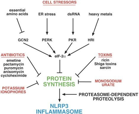 Graphic depiction of proposed mechanisms by which different stimuli activate the NLRP3 inflammasome.Inhibition of protein synthesis leads to activation of the NLRP3 inflammasome by preventing the synthesis of short-lived inhibitory protein(s) that are degraded by proteasomes. Inhibition of protein synthesis is mediated by a variety of physiological cell stressors acting through phosphorylation of eIF-2alpha, leading to a transient decrease in protein synthesis. Toxins such as ricin, Shiga toxins, and sarcin inhibit protein synthesis by interfering with the structure of the sarcin/ricin loop of 28S rRNA. Antibiotics act through various ribosome-associated mechanisms to inhibit translational initiation and/or elongation. Potassium ionophores (and receptors such as P2X7) inhibit translation by mediating loss of cellular potassium. Monosodium urate inhibits translation by inducing cell swelling, which leads to dilution of intracellular potassium.