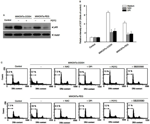 Involvement of NADPH oxidase, ROS, p38 MAPK, and NF-κB in MWCNTs-COOH- and MWCNTs-PEG-induced apoptosis of RAW264.7 cells.Cells were pretreated with a ROS scavenger (NAC), NADPH oxidase inhibitor (DPI), p38 inhibitor (SB203580), or NF-κB inhibitor (PDTC) for 1 h, and then treated with either MWCNTs-COOH or MWCNTs-PEG for 24 h. Western blot analysis and DCF staining using flow cytometry were used to determine levels of cytoplasmic p65 (A) and intracellular ROS (B), then the apoptosis of RAW264.7 cells were evaluated by flow cytometry using PI staining. Data are representative of three independent experiments (C). *p<0.05 compared to control sample.