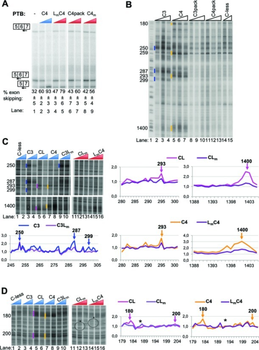 Effects of mutations altering the PTB RRM3-4 di-domain on its splicing and RNA-binding functions. (A) FAS WT RNA was spliced in vitro in HeLa nuclear extract in the absence (−) or presence of recombinant PTB mutants as indicated. PTB mutants were added to 10 and 30 ng/μl. Specific splicing products were detected by primer extension with end-labeled primers. The percent exon skipping shown below each lane is the average ± SD of three replicates. (B) Fe(II)-BABE Cys PTB mutants were used in directed hydroxyl radical probing assays. 0.1 μM of FAS WT RNA were incubated with 0.9, 1.2 μM or 1.5 μM Fe(II)-BABE-PTB mutants. Analysis was performed as described in Figure 2B. Cleavage sites are indicated by vertical lines on the left of the corresponding bands on the gel. Cuts produced by the lower amount of derivatized protein added are indicated. The colour-coding introduced in Figure 2 is also applied here to depict cleavages produced by cysteines in the different RRMs of PTB. Lane 1 (T) depicts a sequencing ladder generated by the same primer. (C) and (D) Fe(II)-BABE Cys PTB mutants were used in directed hydroxyl radical probing assays as described above. 0.1 μM of FAS WT RNA were incubated with 0.9 and 1.2 μM (blue wedges) or 0.9, 1.2 μM and 1.5 μM (red wedges) of Fe(II)-BABE-PTB mutants. Analysis was performed as described above. Cleavage sites are indicated by vertical lines on the left of the corresponding bands on the gel, as described for panel B. The graphs presented within each panel have been produced from quantification of the relevant gel by SAFA software. Peaks corresponding to the bands indicated by vertical lines in the gels are shown by arrows. The exact nucleotide positions of the cleavage sites are indicated by the numbers above the arrows. The asterisks at the gel and the graphs in panel D show artefact-signals produced during the processing of the gel.