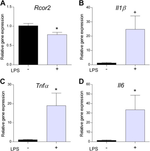 Concomitant downregulation of Rcor2 and increased pro-inflammatory gene expression in the R1 hippocampus after intraperitoneal lipopolysaccharide (LPS) injection. (A)Rcor2(B) interleukin 1 beta, (C) tnf-alpha and) (D) interleukin 6 gene expression levels in hippocampus from 12 month-old R1 after intraperitoneal lipopolysaccharide (LPS) injection (n = 5 to 7/group). Real-time PCR was performed and means ± standard errors are represented. Two-way ANOVA results are indicated as *P <0.05.