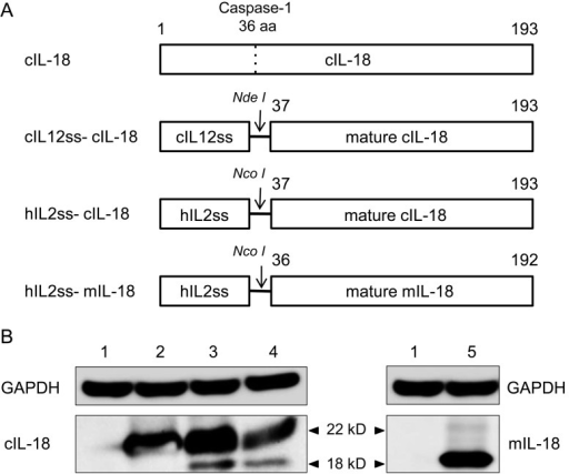 Mammalian expression plasmids for canine and mouse IL-18. (A) Schematicrepresentation of IL-18 constructs. From top to bottom: full-length sequence of canineIL-18, mature canine IL-18 fused to the canine IL-12 signal sequence, mature canineIL-18 fused to the human IL-2 signal sequence and mature mouse IL-18 fused to thehuman IL-2 signal sequence were inserted into the pCAGGS and pFuse–hIgG2–Fc2 vectors.(B) The expression of IL-18 by transfected 293T cells was analyzed with immunoblottingusing anti-GAPDH, anti-cIL-18 and anti-mIL-18 antibodies. 1. Mock; 2. pCAG–cIL18; 3.pCAG–cIL12ss–cIL18; 4. pFuse–hIL2ss–cIL18; 5. pFuse–hIL2ss–mIL18.