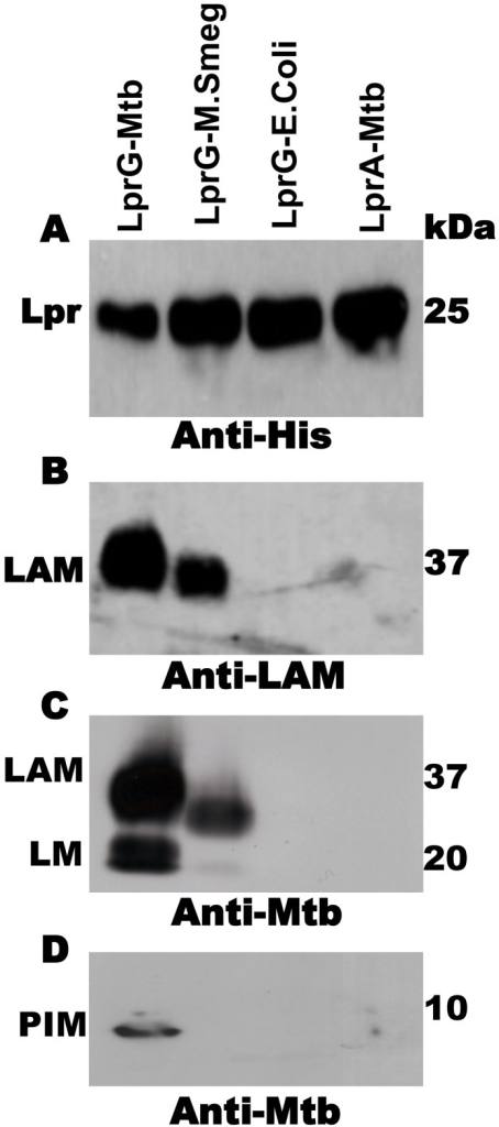 Acylated LprG binds lipoglycans in Mtb.SDS-PAGE analysis of proteins and co-purifying molecules isolated from Mtb H37Ra, M. smegmatis or E. coli. (A) Western blot with monoclonal anti-hexahistidine (anti-His6) to detect LprG or LprA. Mycobacterial components associated with lipoproteins were detected using (B) monoclonal anti-LAM antibody CS-35 or (C and D) rabbit polyclonal anti-Mtb antibody that detects both LAM and LM. Blots are representative of at least three independent experiments.