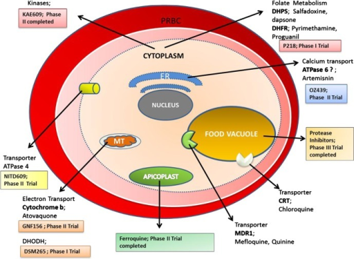 Red Blood Cell Organelle Diagram Wiring Diagram Database