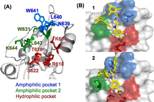 (A) STAT5a's SH2 domain with three binding pockets:hydrophilic,red; amphiphilic, green; amphiphilic, blue; (B) in silico docking of 1 interacting with R618, S622, and N639; 2 interacting with R618 and S622, as well as a cationic−πinteraction of the R1 benzyl with K644.