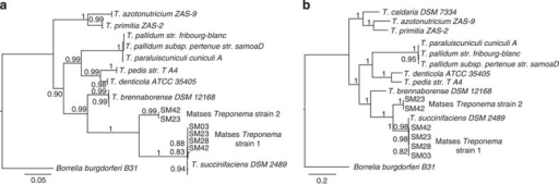 Phylogenetic trees showing relationship of Matses Treponema strains to reference Treponema species.(a) Maximum likelihood tree constructed using 16S rRNA sequences from de novo assemblies of shotgun data. (b) Maximum likelihood tree constructed using concatenated amino acid sequences from 35 single copy marker loci, retrieved from de novo assemblies of shotgun data. Both trees show similar topology, with the Matses Treponema strains grouping with Treponema succinifaciens, a known carbohydrate metabolizer in the swine gut microbiome.