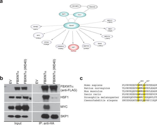 HSF1 is a substrate of the FBXW7α ubiquitin ligase(a) Network of FBXW7α-interacting partners. Serial immunoprecipitation experiments from HEK293 cells coupled to mass-spectrometry based analysis revealed a large number of known substrates (NFKB2, MYC, MED13L, MED13), already characterized members of the Cullin 1 complex (SKP1, CUL1) and putative interactors (MED1, HSF1). The FBXW7 degrons on various substrates are indicated. (b) FBXW7α binds to HSF1 through specific residues in the WD40 domain. HEK293T cells were transfected with constructs encoding FLAG tagged HSF1, and FLAG-HA tagged empty vector (EV), or FLAG-HA tagged FBXW7α or FLAG-HA tagged FBXW7α (WD40), a substrate binding mutant, in which three residues within one of the seven WD40 repeats of FBXW7α have been mutated57. HA-tagged FBXW7α was immunoprecipitated (IP) from cell extracts with anti-HA resin, followed by immunoblotting as indicated. The left panel shows inputs. (c) Alignment of the human HSF1 protein region containing the putative degron with HSF1 from various organisms. Conserved phospho-amino acids (amino acids 303 and 307 in human sequence) are highlighted. Uncropped blots are shown in Supplementary Fig. 8.