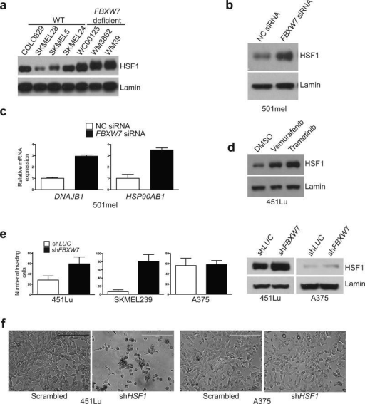 FBXW7 regulates nuclear HSF1 levels and invasion ability in human melanoma(a) FBXW7 deficiency stabilizes nuclear HSF1 in melanoma. Nuclear fractions from wild type (COLO829, SKMEL28, SKMEL5, SKMEL24) and deficient for FBXW7 (WC00125, WM3862, WM39) melanoma cell lines were analyzed by immunoblotting as indicated. (b) FBXW7 knockdown results in nuclear HSF1 accumulation. 501mel cells were treated with non-coding (NC) siRNA or siRNA against FBXW7. Nuclear fractions were analyzed by immunoblotting as indicated. (c) FBXW7 knockdown results in increased HSF1 targets expression in melanoma. DNAJB1 and HSP90AB1 mRNA expression in 501mel cells treated with non-coding (NC) siRNA or siRNA against FBXW7 (P<0.001 for NC siRNA versus FBXW7 siRNA; unpaired t-test, and n=3 independent experiments) (d) 451Lu cells were treated with the BRAF inhibitor Vemurafenib (2 μM, 9 h) and MEK inhibitor Trametinib (50 nM, 9 h). Nuclear fractions were analyzed by immunoblotting as indicated. (e) FBXW7 depletion results in increased invasion in melanoma. 451Lu, SKMEL239 and A375 cells were infected with the indicated shRNA-encoding lentiviruses. One week after transduction, trans-well invasion assay was performed (P<0.05 for 451Lu shLUC versus shFBXW7, P<0.001 for SKMEL239 scrambled versus shFBXW7, P>0.05 for A375 shLUC versus shFBXW7; n= 10 fields per biological replicate; 4 biological replicates; unpaired t-test). Nuclear fractions were analyzed by immunoblotting as indicated. (f) Representative microphotographs of 451Lu and A375 cells after 8 days of infection with the indicated shRNA-encoding lentiviruses (scale bar, 200 μm). Error bars indicate mean ± SD.. Uncropped blots are shown in Supplementary Fig. 8.