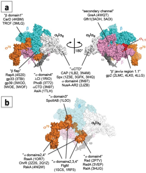 (a) Three-dimensional representation of the interaction between RNAP and transcription factors. The E. coli RNAP holoenzyme is shown as a molecular surface representation (α subunits: white; β subunit: cyan; β' subunit: pink; ω subunit: gray; σ70: orange; σ region 1.1: red). Transcription factors binding sites are indicated in double quotation marks and PDB codes of structures are shown in brackets; (b) Three-dimensional representation of the interaction between σ and anti-σ factors. E. coli RNAP holoenzyme is shown as a molecular surface representation, and only the core enzyme is partially transparent (α subunits: white; β subunit: cyan; β' subunit: pink; ω subunit: gray; σ70: orange). Targets of anti-σ factors are indicated in double quotation marks and PDB codes of structures are shown in brackets.
