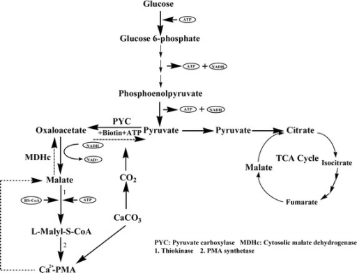The proposed pathway of the PMA metabolism in the yeast cells.