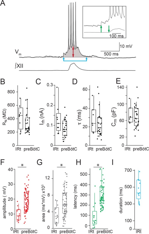 Electrophysiological characteristics of Dbx1 IRt neurons.(A) Membrane potential recording (Vm) from an inspiratory Dbx1 IRt neuron and integrated XII nerve (∫XII) activity showing inspiratory burst characteristics. Inspiratory drive amplitude for neurons that generated action potentials during inspiratory bursts was estimated based on the shape of the underlying drive potential (double-ended red arrow). Inspiratory drive area was calculated as the integral of membrane potential over time (shaded area). Panel inset: inspiratory drive latency was defined as the delay between the onset of inspiratory depolarization (upward green arrow) and the onset of XII inspiratory nerve burst (downward green arrow). Inspiratory drive duration was measured as the length of time the membrane potential was above baseline (joined blue arrows). Membrane potential scale bar applies to inset as well. Group data (median, box: interquartile range, whiskers: 10th and 90th percentiles) and individual values (solid circles) measuring passive membrane properties and inspiratory drive characteristics in Dbx1 neurons of the IRt and preBötC: (B) neuronal input resistance, RN, n = 8 (IRt), n = 27 (preBötC); (C) rheobase, Irh, n = 9 (IRt), n = 26 (preBötC); (D) membrane time constant, τ, n = 7 (IRt), n = 26 (preBötC); (E) whole-cell capacitance, Cm, n = 7 (IRt), n = 26 (preBötC); (F) inspiratory drive amplitude, n = 14 (IRt), n = 82 (preBötC); (G) inspiratory drive area, n = 14 (IRt), n = 82 (preBötC); (H) inspiratory drive latency, n = 13 (IRt), n = 70 (preBötC); (I) inspiratory drive duration, n = 13 (IRt); All preBötC data from (Picardo et al., 2013). IRt – intermediate reticular formation. *, p < 0.05, unpaired t-test.DOI:http://dx.doi.org/10.7554/eLife.12301.004