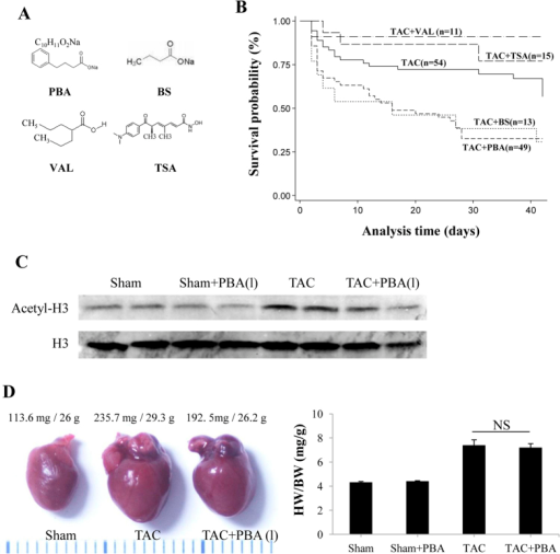 The effects of different HDAC inhibitors on TAC-induced mortality.(A) The chemical structures of the HDAC inhibitors, PBA, BS, TSA and VAL. (B) Kaplan–Meier analysis of the mortality rate of mice subjected to TAC surgery with or without HDAC inhibitor treatment for 6 weeks, including PBA (100 mg/kg/d, ip), BS (100 mg/kg/d, ip), TSA (0.6 mg/kg/d, ip) and VAL (0.71% in drinking water). (C) Western blots of H3 acetylation. (D) Representative image of whole hearts (left panel), and ratio of heart weight (HW) to body weight (BW) (right panel) of the TAC mice with or without low-dose PBA treatment (10 mg/kg/d, ip, for 6 weeks). Data are expressed as mean ± SEM. Sham + Veh (n = 4); Sham + PBA (10 mg/kg/d, ip, n = 4); TAC (n = 6); TAC + PBA (10 mg/kg/d, ip, n = 6). PBA (1), PBA 10 mg/kg/d; TAC, transverse aortic constriction.