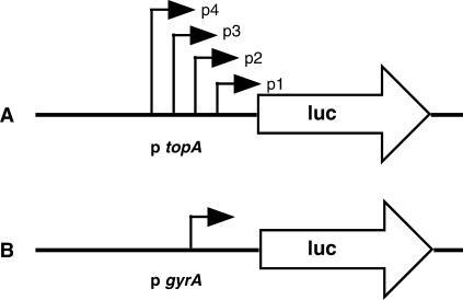 Schematic elements of promoter/reporter constructs for monitoring unrestrained supercoiling in E. coli. Constructs contain firefly luciferase reporters. (A) Luciferase expression is driven from the cluster of topA promoters, induced by high levels of negative superhelical strain and repressed by low levels of negative superhelical strain. (B) Luciferase expression is driven by the gyrA promoter, induced by low levels of negative supercoiling and repressed by high levels of negative supercoiling.
