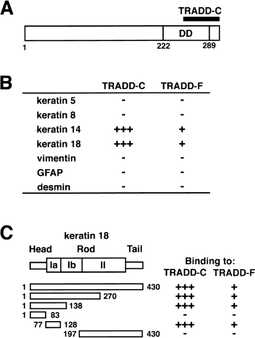 Identification of TRADD as a K18-interacting protein. (A) Domain organization of human TRADD protein. Death domain (DD) is indicated. Position of the original clone encoding the COOH-terminal region of TRADD (TRADD-C) is also indicated. Numbers refer to amino acid position. (B) Interactions of TRADD-C or full-length TRADD (TRADD-F) with K18 or other IFs in two- hybrid system. Y190 cells cotransformed with various pGBD-C1-IFs and pGAD-C1-TRADD-F or pGAD-C1-TRADD-C were selected in minus tryptophan (Trp)-leucine (Leu) media and subjected to β-galactosidase filter assay. The numbers of plus signs represent the relative rates at which the transformed yeast colonies turned blue after incubation at 30°C on filters, +++, <3 h; ++, 3–8 h; +, >8 h. Minus sign represents colonies remaining white at 24 h. (C) Identification of the coil Ia region of K18 that is sufficient for binding to TRADD. Y190 cells cotransformed with various pGBD-C1-K18 deletion mutants and pGAD-C1-TRADD-F or pGAD-C1-TRADD-C were selected in minus Trp-Leu media and subjected to β-galactosidase filter assay. Plus and minus signs are the same as in B. Numbers refer to amino acid position.