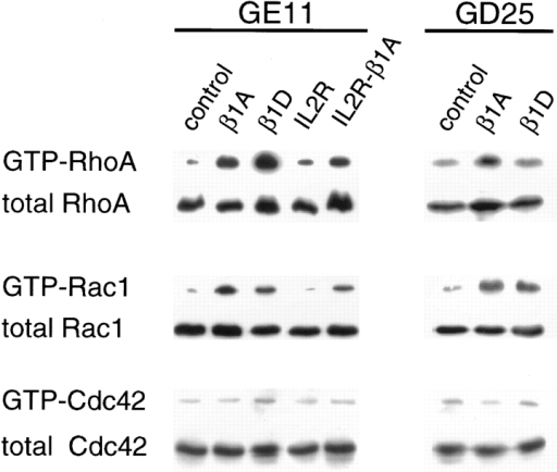 Expression of β1 integrins in GE11 and GD25 cells activates RhoA and Rac1 but not Cdc42. Lysates of GE11 and GD25 cells expressing either the control vector alone, β1A, β1D, IL2R, or IL2R-β1A were incubated with GST-rhotekin fusion protein for the RhoA assay, or with GST-PAK fusion protein for the Rac1 and Cdc42 assays. The presence of active, GTP-bound RhoA, Rac1, or Cdc42 was analyzed by immunoblotting. Total amounts of RhoA, Rac1, and Cdc42 were determined in total cell lysates.